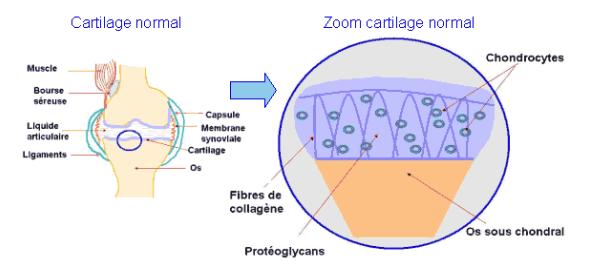 composition du cartilage